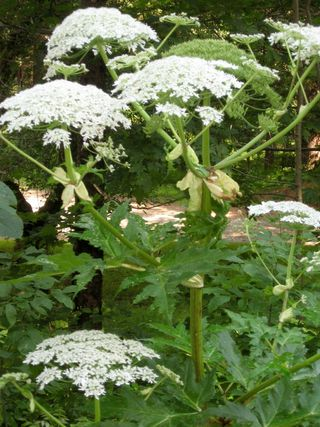 Giant Hogweed Inflorescence