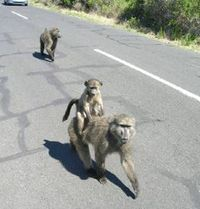 Terry_fitzpatrick_baboon_photo_loe