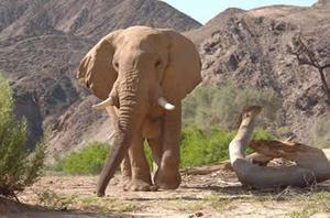 Desert_adapted_elephant_kunene_regi