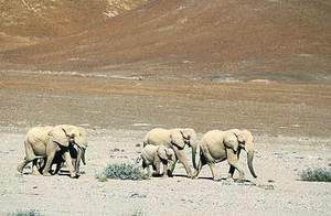 Elephant_herd_namibia