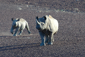 Namibian_black_rhinoceros