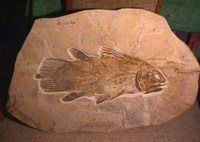 Coelacanth_fossil
