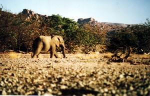 Aba_huab_elephant