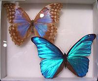 Morpho_butterflies_matt_andrade
