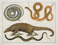 Pangolin_and_snakes