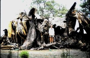 Fallen_giant_baobab_1998