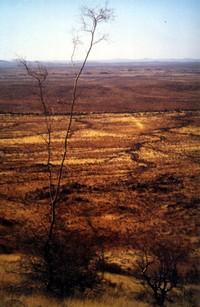 Acacia_robynsiana_grootberg_namibia