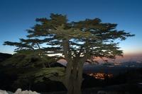 Alshouf_cedar_of_lebanon_image