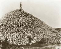 Bison_skulls_1870s