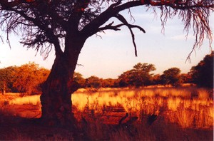 Camel_thorn_on_the_kakatswa_grootberg_na