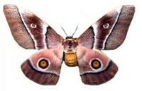 Emperor_moth