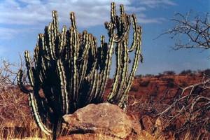 Euphorbia_virosa_grootberg_namibia