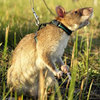 Gambian_giant_pouch_rat_via_reuters_1