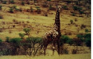 Giraffe_khoadi_hoas_namibia_1997